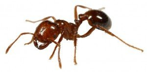 fireant-300x148