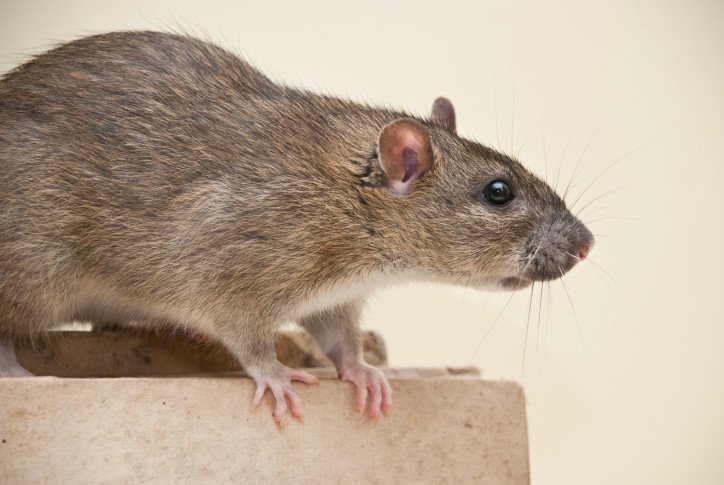 Keeping Rats Out Of Your Garage This Winter